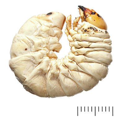 Stag Beetle Larva Print by Natural History Museum, London