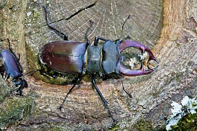 Romania Photograph - Stag Beetles by Bob Gibbons