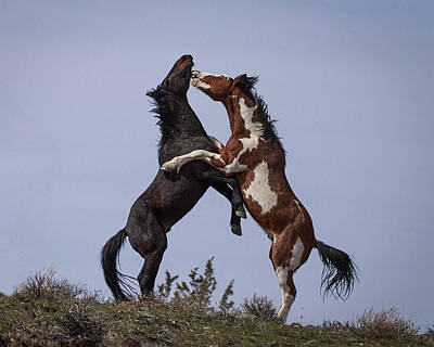 Wild Horse Photograph - Stallions In Training D3633 by Wes and Dotty Weber