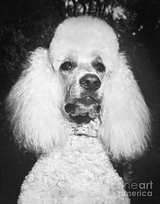 Standard Poodle Print by ME Browning