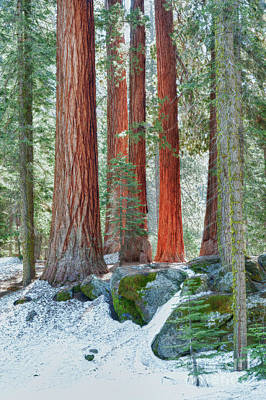 Standing Tall - Sequoia National Park Print by Sandra Bronstein