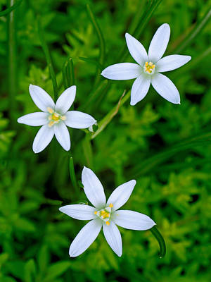 Star Of Bethlehem Trio Print by Carolyn Derstine