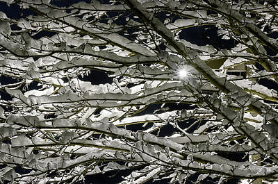 Puget Sound Photograph - Starburst Through Snow Covered Branches by Paul Conrad