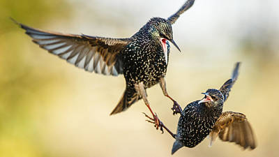 Starlings Photograph - Starling Aerial Battle by Izzy Standbridge