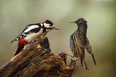 Starling And Woodpecker Stand Off Print by Izzy Standbridge