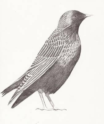Starlings Drawing - Starling by Nina Shilling