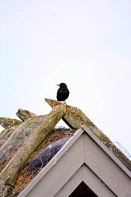 Starlings Mixed Media - Starling On Old House by Toppart Sweden