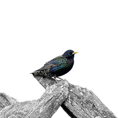 Starlings Mixed Media - Starling On Roof by Toppart Sweden