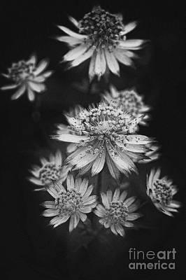 Astrantia Photograph - Starry Cluster by Venetta Archer