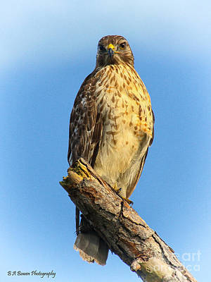 Birdwatching. B A Bowen Photograph - Stately Red-shouldered Hawk by Barbara Bowen