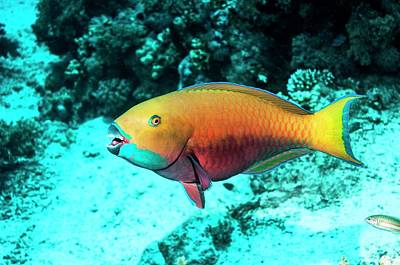 Steepheaded Parrotfish By A Reef Print by Georgette Douwma