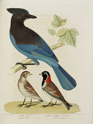 Categories Photograph - Steller's Jay. Lapland Longspur. Female by British Library