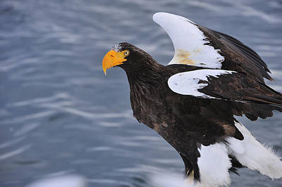 Stellers Sea Eagle Taking Flight Print by Thomas Marent