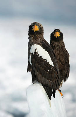 Steller's Sea Eagles Print by Dr P. Marazzi
