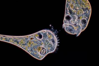 Unicellular Photograph - Stentor Protozoan by Frank Fox