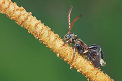 Longhorn Photograph - Stingless Bee-mimicking Longhorn Beetle by Melvyn Yeo