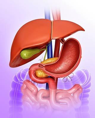 Internal Organs Photograph - Stomach And Internal Organs by Pixologicstudio