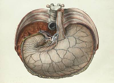 Stomach And Liver Print by Science Photo Library