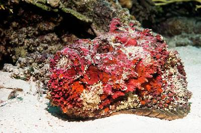 Stonefish After Shedding Cuticle Print by Georgette Douwma
