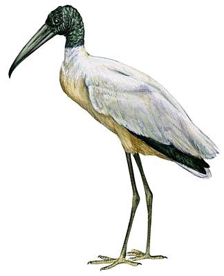 Stork Drawing - Stork by Anonymous