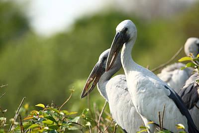 Stork Photograph - Storks Nesting In The Treetops by Nila Newsom