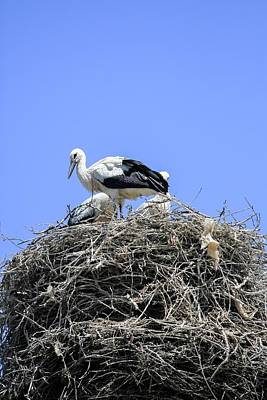 Bird Nest Photograph - Storks Nesting by Photostock-israel
