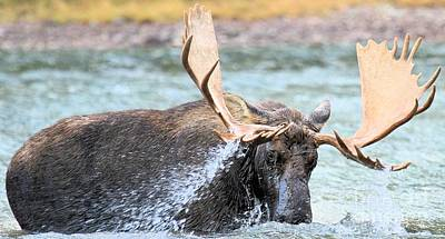 Moose In Water Photograph - Stormy Dinner by Adam Jewell