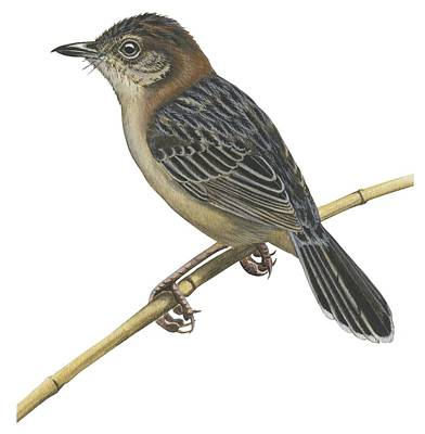 Square Image Drawing - Stout Cisticola by Anonymous