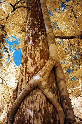 Strangler Fig Photograph - Strangler Fig by Bob Pomeroy