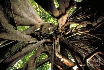 Strangler Fig Photograph - Strangler Fig Root Cage by Gregory G. Dimijian
