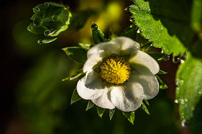 Strawberry Flower. Small Natural Wonders Print by Jenny Rainbow