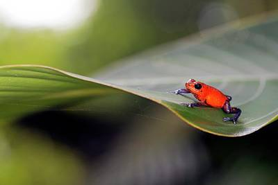 Strawberry Poison Frog Print by Nicolas Reusens