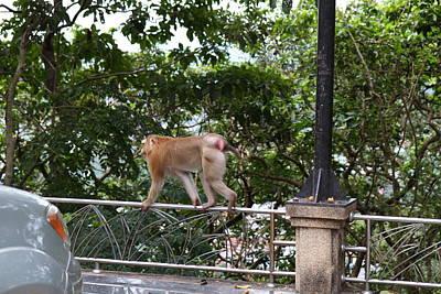 Monkey Photograph - Street Monkey - Phuket Thailand - 01131 by DC Photographer