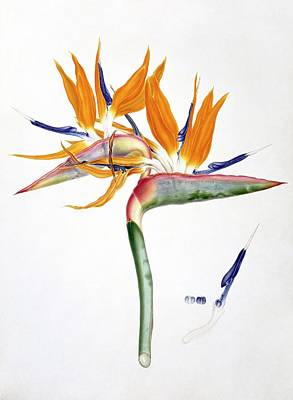 Strelitzia Photograph - Strelitzia Reginae Flowers by Natural History Museum, London
