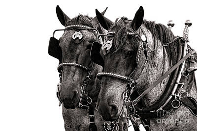 Belgian Draft Horse Photograph - Strength by Olivier Le Queinec
