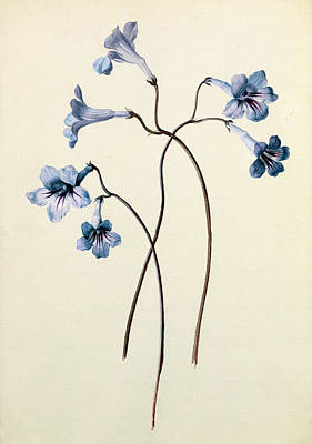 Daisies Drawing - Streptocarpus by German School