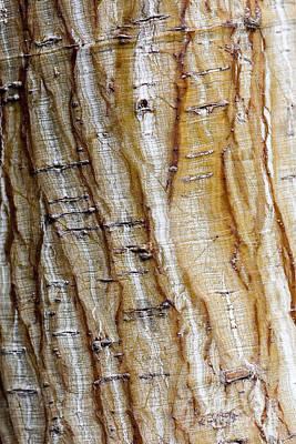 Maple Photograph - Striped Maple by Steven Ralser