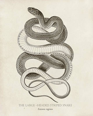 Reptiles Drawing - Striped Snake by Pati Photography