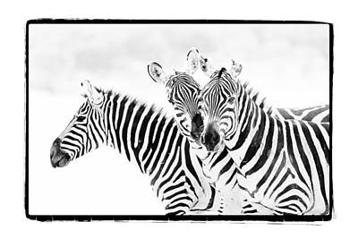 Zebra Photograph - Striped Threesome by Mike Gaudaur