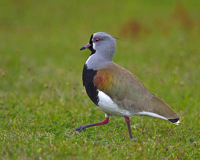 Lapwing Photograph - Strutting Lapwing by Tony Beck