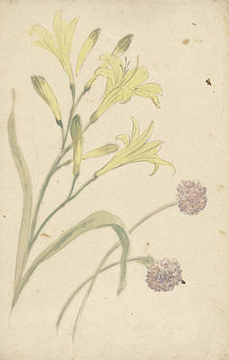 Blooming Drawing - Studies Flower Of A Yellow Lily And A Blooming Onion by Quint Lox
