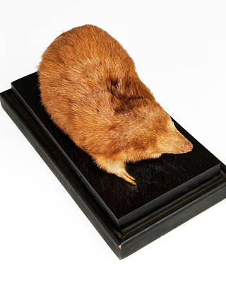 Stuffed Giant Golden Mole Print by Ucl, Grant Museum Of Zoology