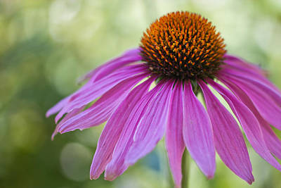 Floriade Photograph - Stunning Beauty by Heidi Smith