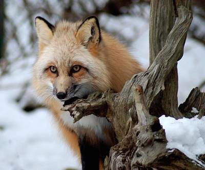 Red Fox Photograph - Stunning Sierra by Richard Bryce and Family