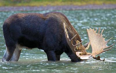 Moose In Water Photograph - Submerged by Adam Jewell