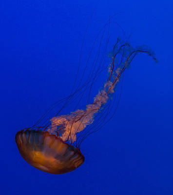 Subtle Pacific Sea Nettle Print by Scott Campbell