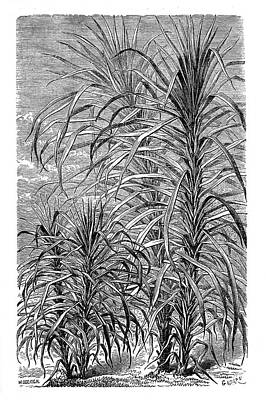 Sugar Cane Experiment Print by Science Photo Library