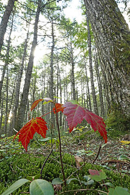 Sugar Maple In Old-growth Canadian Print by Scott Leslie