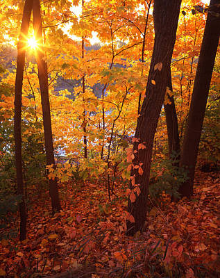 Sugar Maple Sunrise Print by Ray Mathis