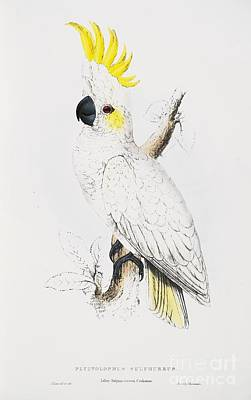 Cockatoo Drawing - Sulfur -crested Cockatoo by Pg Reproductions